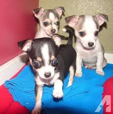 teacup chihuahua for in north carolina clifieds and sell in north carolina americanlisted
