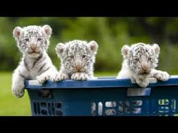 baby white tigers wallpaper. Simple Wallpaper Really Cute Baby White Tiger Triplets Inside Tigers Wallpaper 5