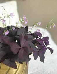 27 Best Oxalis images in 2019 | Houseplants, Indoor plants, Florals