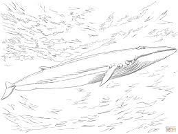 Small Picture Fin or Finback Whale coloring page Free Printable Coloring Pages