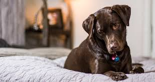 Benadryl For Dogs A Complete Guide To Giving Benadryl To