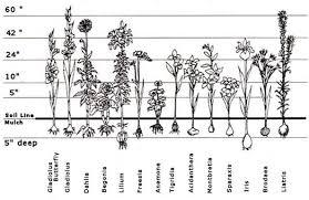 32 Most Popular Flower Bulb Planting Chart
