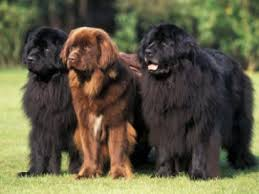 Image result for newfoundland dogs