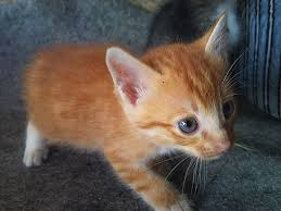 an orange kitten