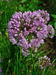 Allium lusitanicum - Wikipedia, la enciclopedia libre