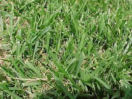 Help Identifying Unwanted Grass Aroundtheyard Com Forums