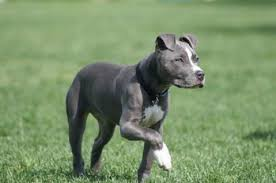 pitbull terrier. Contemporary Terrier American Pitbull Terrier And T