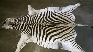 african zebra skin rug image 1