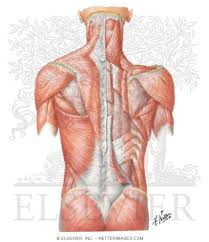 Contain the common carotid artery, internal. Muscles Of Back Superficial Layers Superficial Muscles Posterior Neck And Back