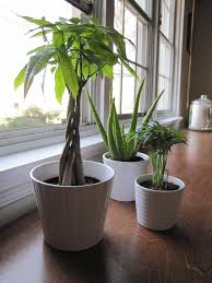 small office plant. General Living Room Ideas Easy Houseplants Small Office Plants Big Indoor For Sale Popular Plant