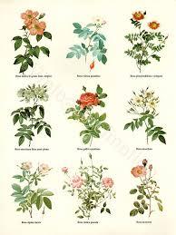 Botanical Chart Print Vintage Botanical Chart Print Botanical Prints Botanical