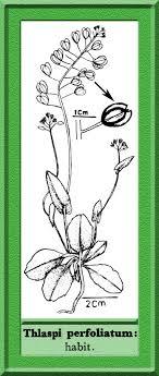 Thlaspi perfoliatum in Flora of Pakistan @ efloras.org