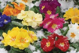 colourful primroses covered in snow