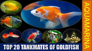 Top 20 Tankmates Of Goldfish Revised List Of Fishes Compatible With Goldfish Aquamarina