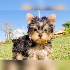 teacup puppy yorkie. Wonderful Puppy TIM  MALE AVAILABLE To Teacup Puppy Yorkie R