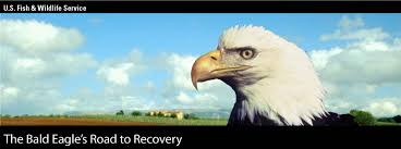 Bald Eagle Age Chart Usfws History Of Bald Eagle Decline Protection And Recovery