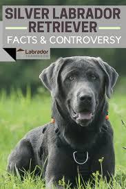 Labrador Color Chart Silver Labrador Retriever Facts About Silver Labs You Need