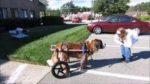 large walkin wheels dog wheelchair compilation