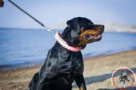 pink rottweiler leather collar with 2 rows of spikes