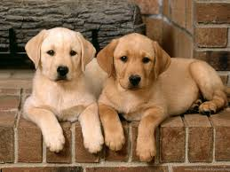 lab puppy wallpapers. Plain Puppy Cute Lab Puppy Wallpapers Collective Full Hd   Desktop Background Inside L