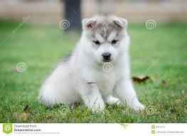 cute dogs and puppies husky. Interesting Husky Cute Siberian Husky Dog Puppy Throughout Dogs And Puppies Husky K