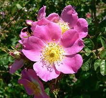 American Rose Size Chart Rose Wikipedia