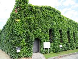 Ivy covers a structure in Kurashiki, Japan. Photo by Joel Abroad.