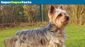 yorkshire terrier facts dog 101 breed information health and more