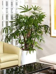 tree in living room easy care tropical indoor trees add leafy elegance to every room tree tree in living room