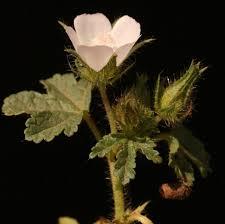 Althaea hirsuta L.   Flora of Israel Online