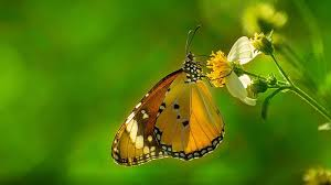 Butterfly Plain Tiger Hd Wallpapers For ...