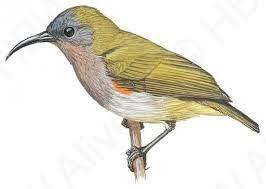 Ursula's Sunbird (Cinnyris ursulae) | HBW Alive | Bird art, Ursula, Birds