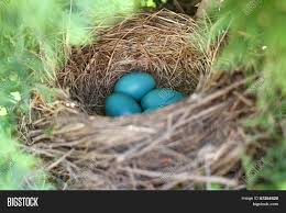 Light Blue Eggs In Nest Robins Eggs Gathered Image Photo Free Trial Bigstock