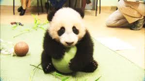 baby panda gif. Wonderful Panda Baby Panda Awww GIF Inside Gif F