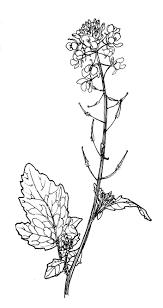 Mustard Seed Medicinal Drawing Google Search