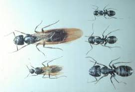 carpenter ant pic. Plain Carpenter Different Species Of Carpenter Ants Males Winged Females And Workers Are  Different Throughout Carpenter Ant Pic O