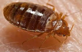 do bed bugs crawl on walls and ceilings