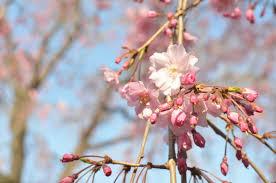 <b>Sakura Sakura</b>! <b>Cherry Blossom</b> Season in Japan – <b>Postcards</b> Home