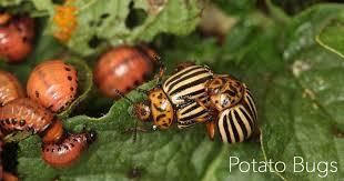 bad garden bugs identify control