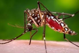 Resultado de imagen de mosquito Anopheles