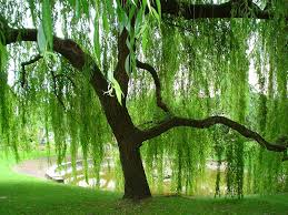 Image result for Green Weeping Willow