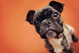 french bulldog puppy wallpaper.  Puppy Dog French Bulldog Muzzle Puppy Wallpaper For French Bulldog Puppy Wallpaper
