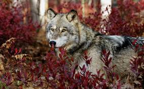 30 Images Of Wolf In Hd Widescreen