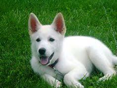 white german shepherd husky mix puppy.  Husky White German Shepherd Puppies  Google Search And White German Shepherd Husky Mix Puppy R