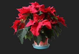 Weihnachtsstern Foto Bild Pflanzen Pilze Flechten