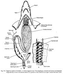 Digestive System Of Scoliodon With Diagram Zoology
