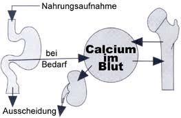 knochen kalzium