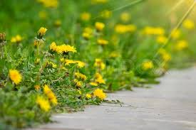 blurred outdoor backgrounds.  Outdoor Dandelion On Green Grass Blur Background Near Concrete Path  Stock Photo  Colourbox And Blurred Outdoor Backgrounds E