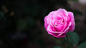 pink rose flowers nature pink color