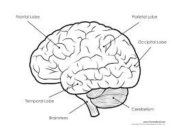 Human brain diagram labeled unlabled and blank rh timvandevall blank skull diagrams anatomy brain diagram unlabeled